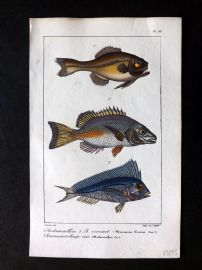 Lacepede & Oudart C1830 Hand Col Fish Print. Mesoprion, Malacanthus 92